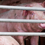 Rising Cases of African Swine Fever Stand to Ravage EU Farmers